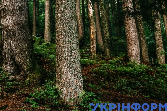 Morning spruce forest in Carpathians