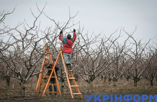 Pruning in cherry garden in Zaporizhzhia Region