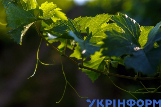 Vineyard in Zakarpattia Region